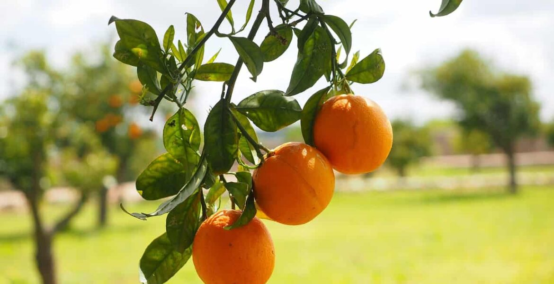 modifikovani citrus pektin